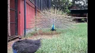 PEACOCK DANCE WITH MUSIC - A RARE VIEW..!!