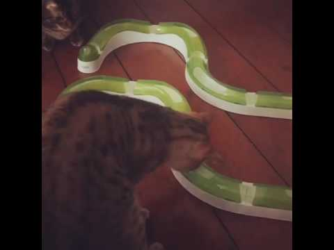 Sweet ginger cat playing with Catit Senses 2.0 Super Circuit