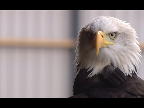 Dutch police use eagles to hunt illegal drones