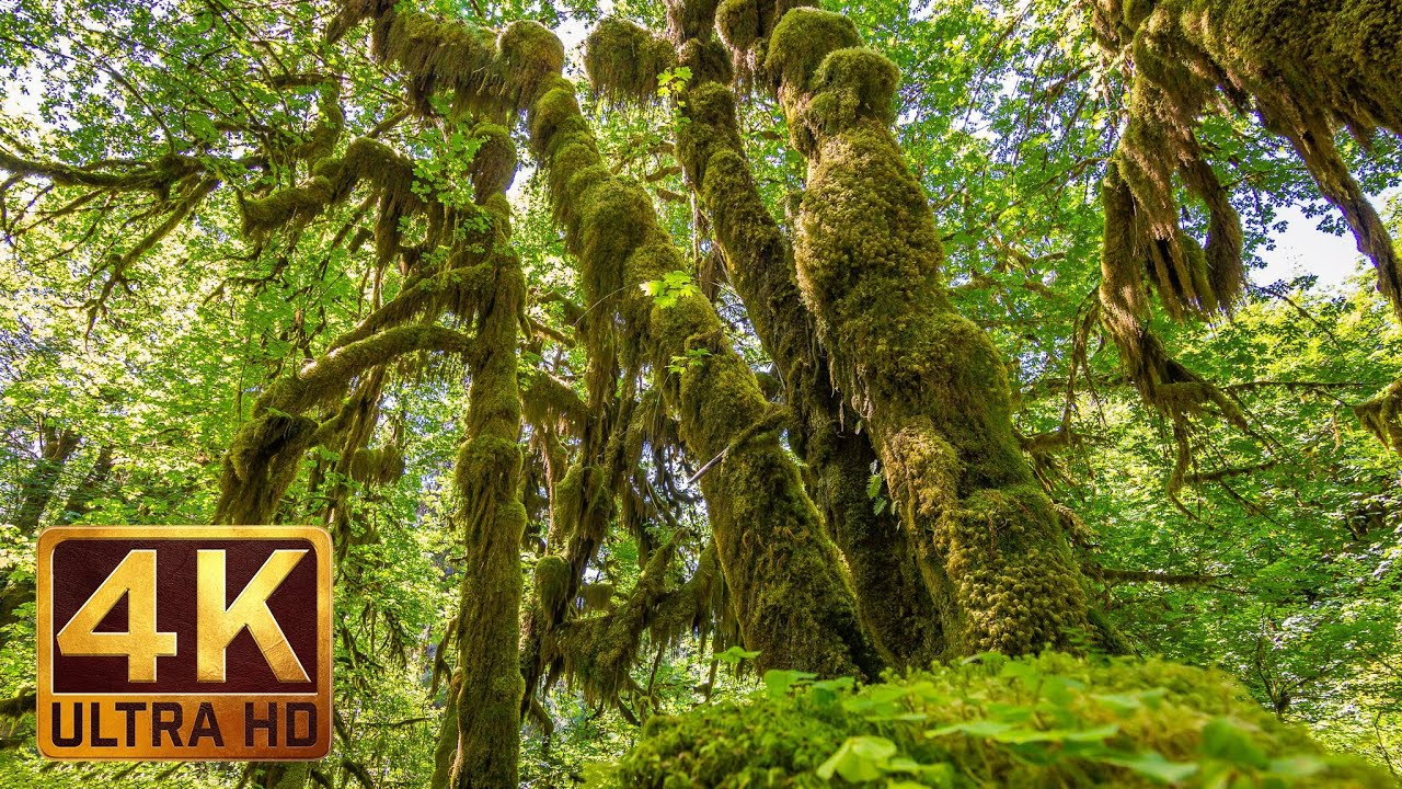 Hoh Rain Forest Nature Relaxation 4K Video