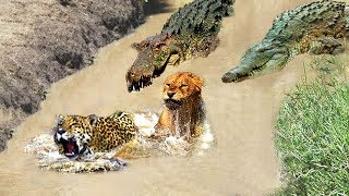 Fierce Fight of Wildlife 2019 - Survival battle of Big Cats Vs Crocodile, Monkey, Hippo, Buffalo