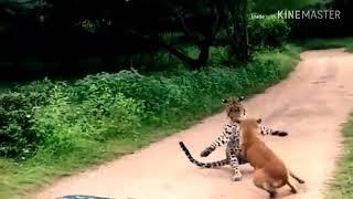 Leopard vs dog Fighting.