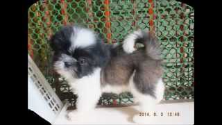 Shih Tzu For Sale | Delrica Kennel | Manila