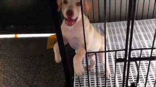 """""""early"""" In His Cage After His Training (sit) Labrador Retriever 2.5 Months Old"""