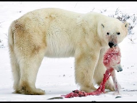 Rencontre avec un ours blanc