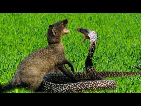 The Best Attacks Of Wild Animals 2017    Mongoose Vs Cobra Snake Attack Compilation including Mongo
