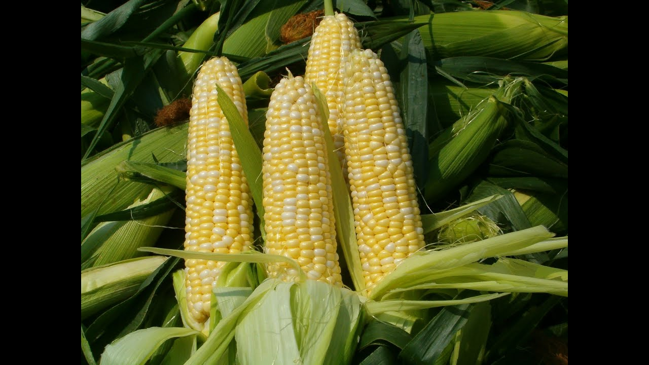 Fighting Drought with a New Super Corn « Great American Adaptation ...