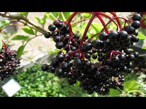Бузина черная. Ягоды и цветы бузины черной: лечебные