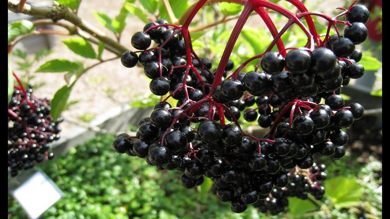 Чем полезно варенье из черной бузины
