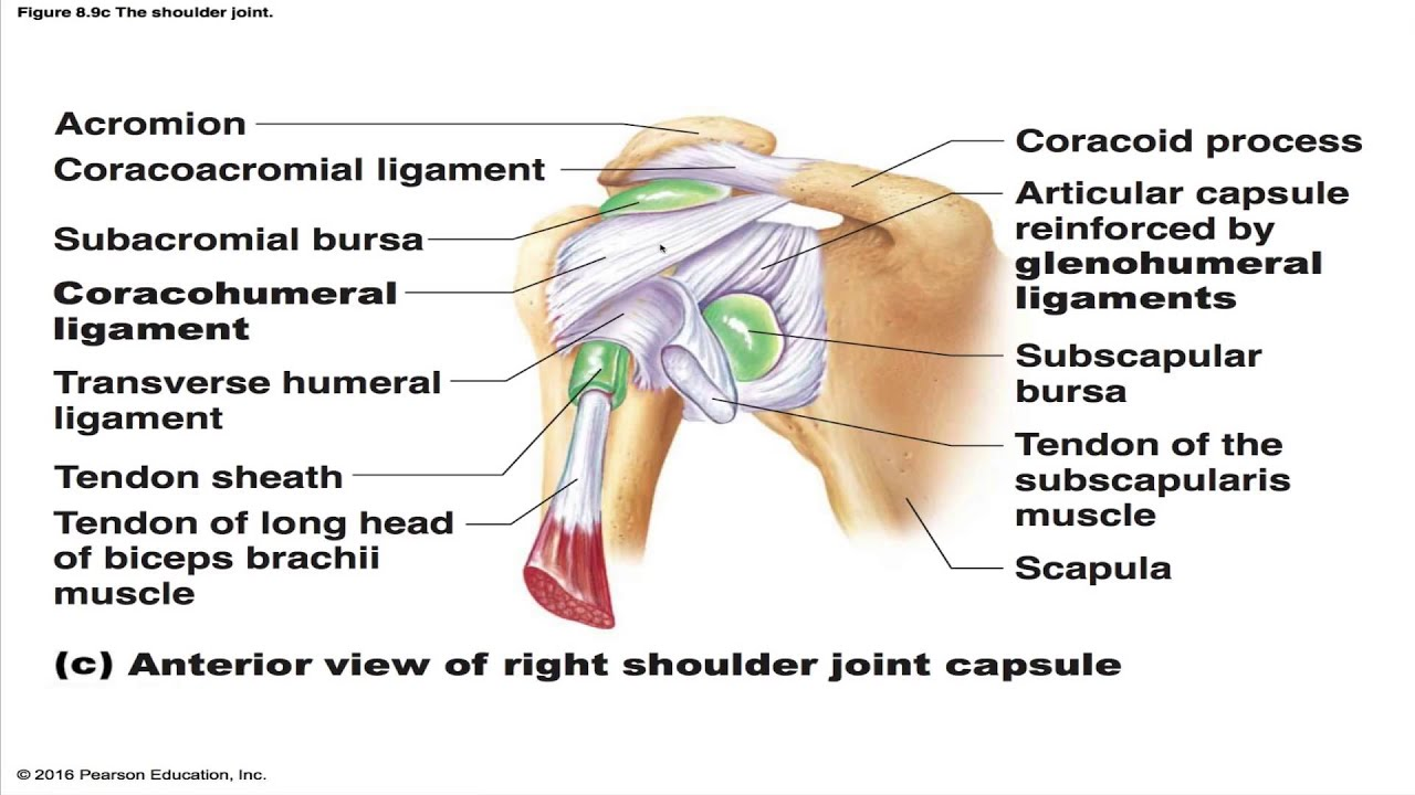 The Shoulder Joint - YouTube