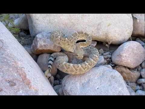 Western Diamondback Rattlesnake in Arizona