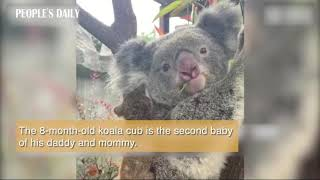 So cute! 8-month-old koala baby made his debut in E China's Nanjing.