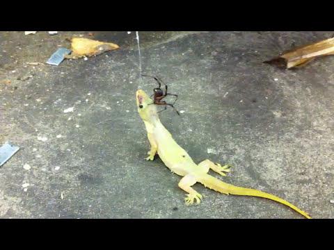 Spider vs lizard! (A.k.a) godzilla vs Kumonga