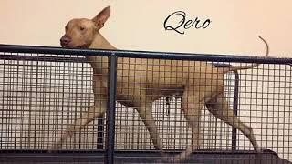 Перуанская Голая собака /PSPP