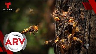 Avispones asesinos: Nueva plaga que pone en peligro a EE.UU. | Al Rojo Vivo | Telemundo