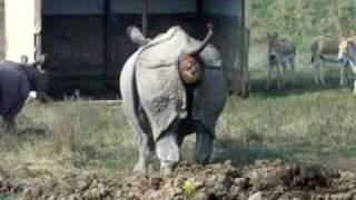 rhino pooping at the wilds caught on camera pretty funny