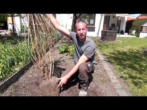 Strauch Richtig Pflanzen   Forsythie   Tipps Vom Experten   Garten TUTORIAL