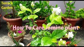 How To Care Jasmine Plant// Fertilizer for Mogra plant (Hindi/Urdu) TERRACE GARDEN