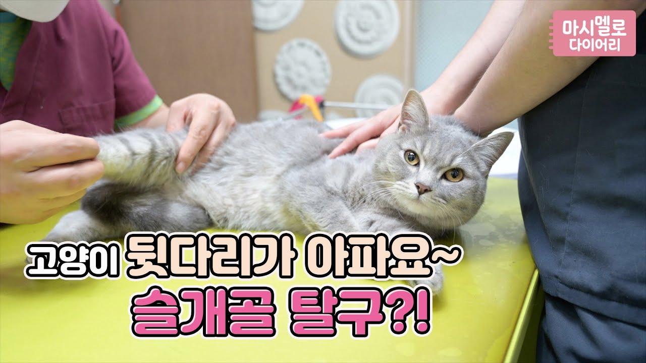 고양이 뒷다리가 아파요~슬개골 탈구?!