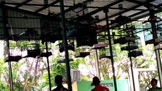 Top Hits -  Lomba Burung Cucak Ijo Tarakan Ronggolawe