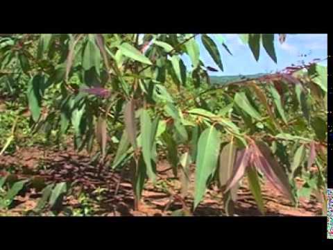 8117fafcd3345 Smart Farming; EUCALYPTUS - YouTube