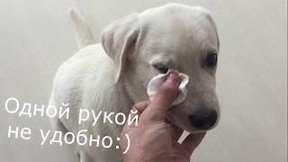 Уход за собакой | Забота о лабрадоре Бэтти