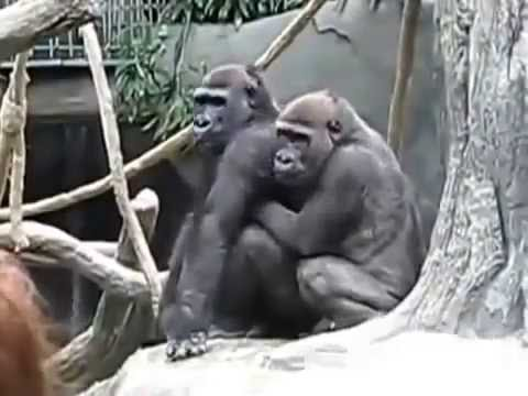 Women in heat fuck with gorilla realize