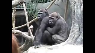 Animal Mating Gorilla     Gorilla Romance With Women
