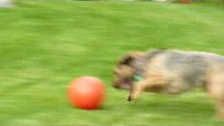 Superb Ball Skills By Bungle The Border Terrier