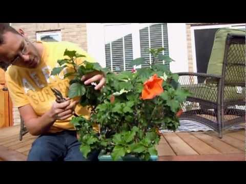 Pruning Tropical Hibiscus Youtube