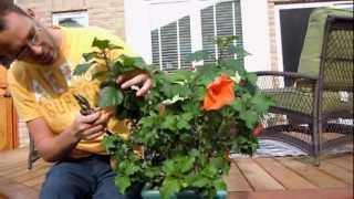 Pruning Tropical Hibiscus