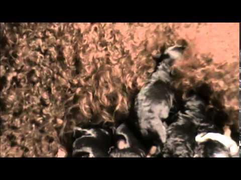 Barbet puppies - newborn