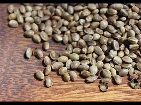Benefits Of Hemp Seeds For Budgies Budgies Ky Liye Bhang Ky Beejun Ka Faida Youtube
