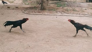 shamo Aseel Rooster Bill Ripley collection 5oo3 new breed