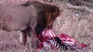 Shishangeni Male Lion Feeding On Zebra | Jackals Wait For Scraps
