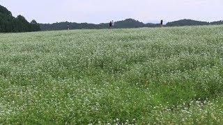 【Nara】桜井市笠地区の笠そば処と蕎麦畑 Buckwheat Restaurant and Buckwheat field in Kasa district,Sakurai