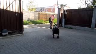 оХРАНА КАНЕ КОРСО