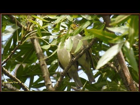 Silvereyes~A Cute Couple ~ Australian Birds in My Backyard