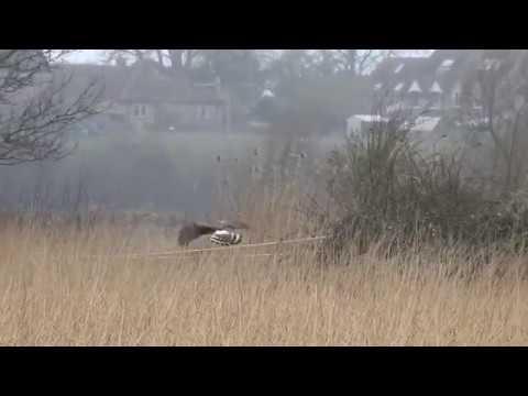 Hen Harrier: oxonbirding.blogspot.co.uk