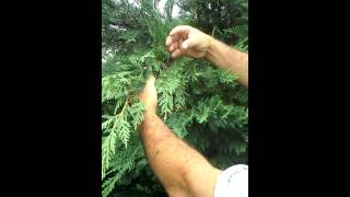 Trimming leyland cypress