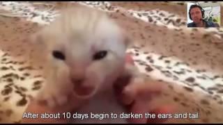 Snow bengal cat Белый бенгал