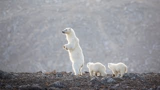Svalbard Polar Bear Expedition - Natural World Safaris 60 seconds