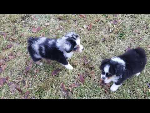 Toy Australian Shepherd Puppies