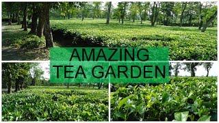 Amazing Tea Garden[Cultivation in Plain Area]
