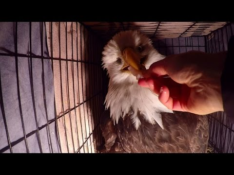 Bald Eagle rescue and release back into the wild