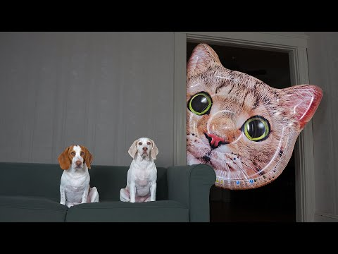 Dogs vs Giant Cat Head Prank: Funny Dogs Maymo & Potpie Pranked by Cats