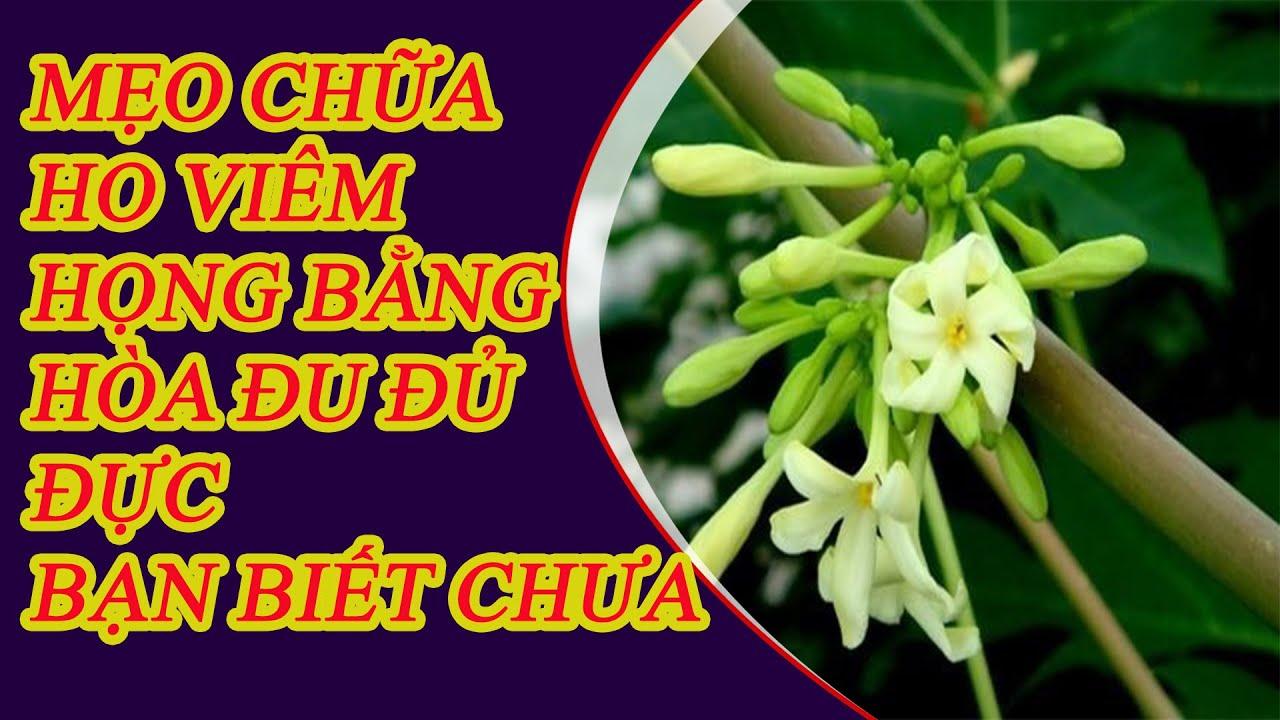 Cách chữa Ho Viêm Họng bằng Hoa đu đủ đực hiệu quả thần kì – chữa  viêm họng bằng thuốc dân gian.