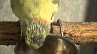 When Parrots molt badly