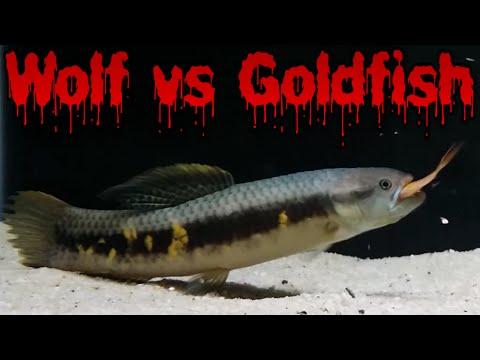Red Hi-Fin Wolf Vs Goldfish