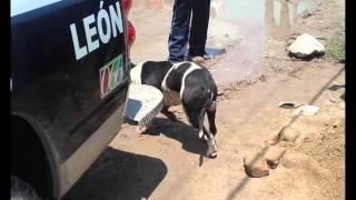 Un bebé murió al ser atacado por dos perros Pitbull